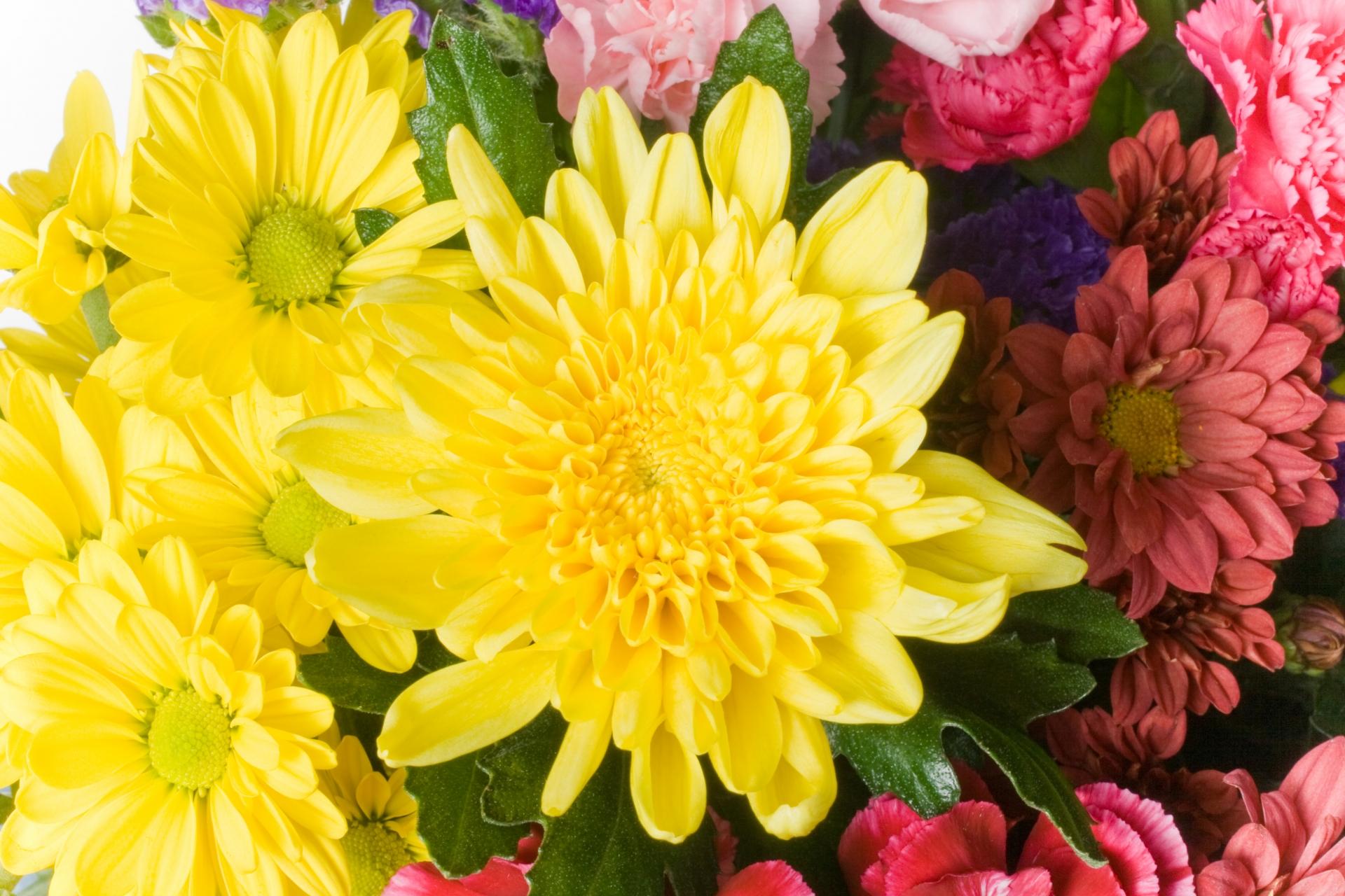 菊は英語で何と言う?菊の花の英語名と読み方。