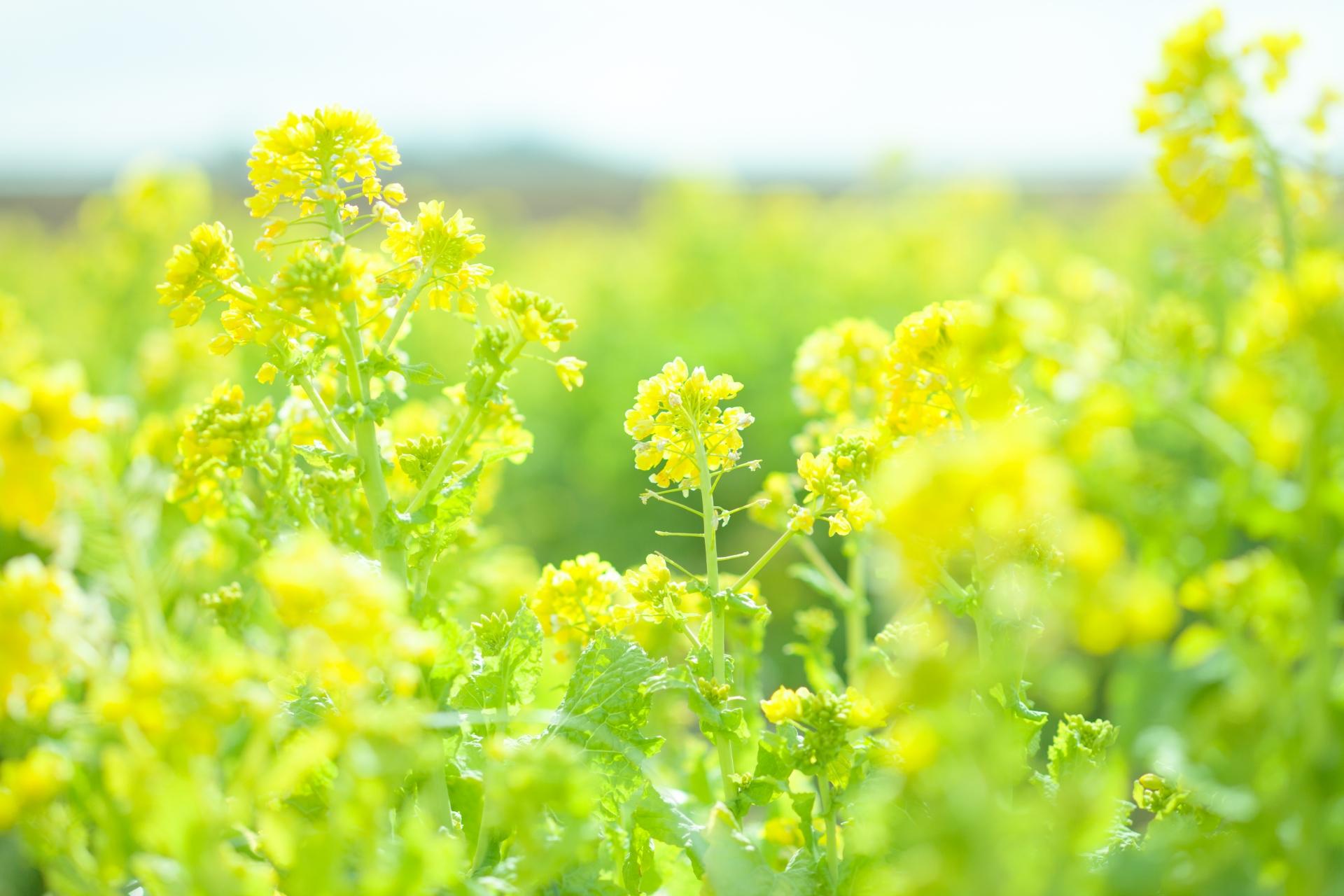 菜の花を英語で何と言う?英語名や読み方。